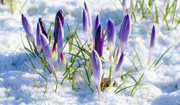 crocus flowers coming up through the snow