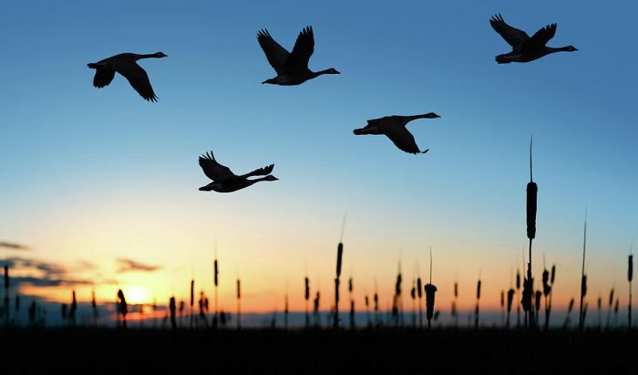 migrating Canada geese at sunset